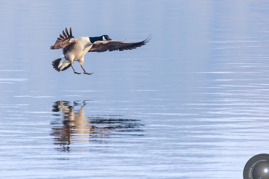 Wildlife Photography - Canada Goose